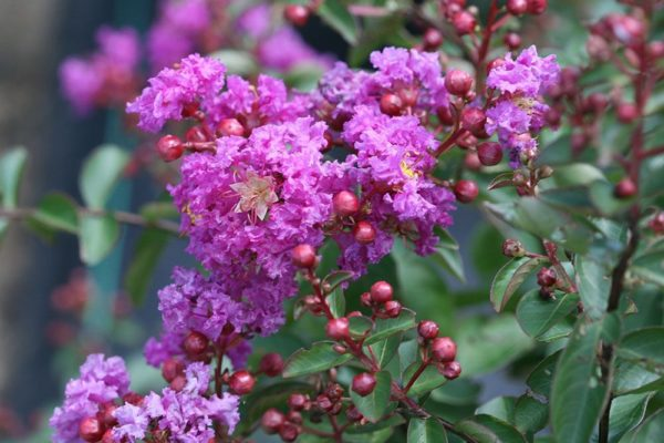 Lagerstroemia-indica-flor